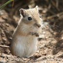 Mongolian gerbil