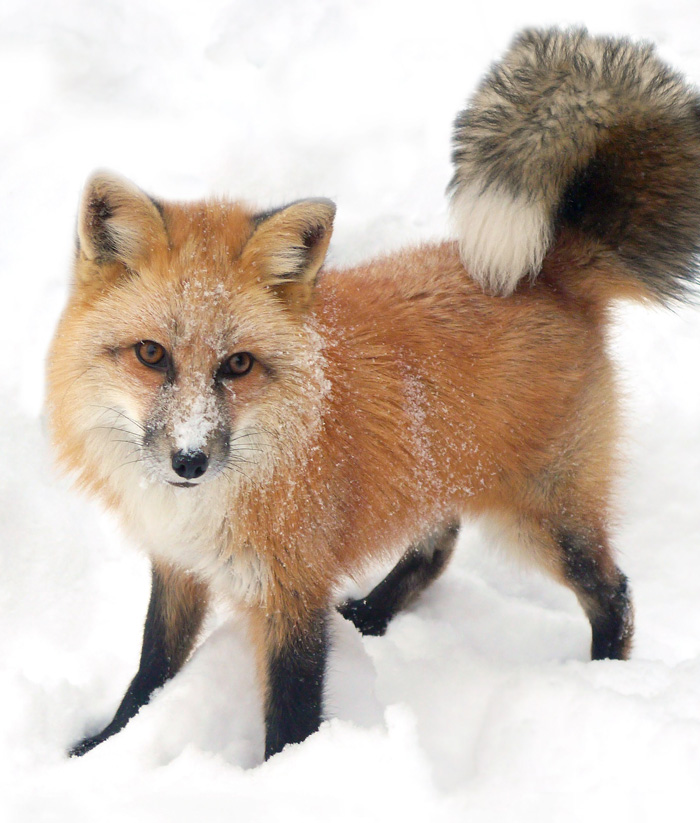 Tame red fox with curly tail in snow