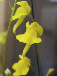 Yellow Genlisea aurea flower