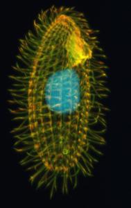 Image of Tetrahymena thermophilia ciliate