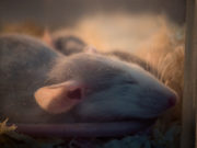 mouse sleeping