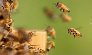 Honey bees entering a hive
